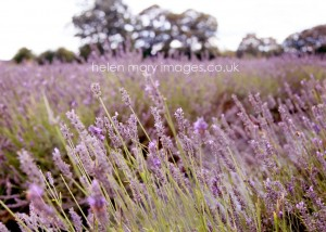 Helen Mary Images captures beautiful Wedding Photography in a Lavender field Cheshire